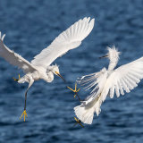 Snowy Egret 3