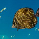 Sailfin Surgeonfish