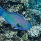 Sheephead Parrotfish