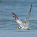 Sandwich Tern in Flight with Fish