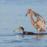 Reddish Egret Pursuing Double-Crested Cormorant