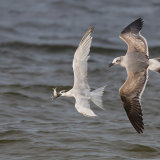 Sandwich Tern Harassed by Laughing Gull