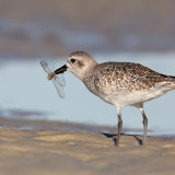 Black-Bellied Plover with Dragonfly