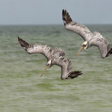 Brown Pelicans Synchronised Diving