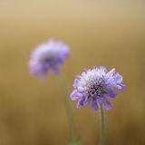 Lilac cornflower
