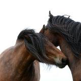 Dales ponies grooming