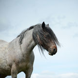 Bay roan Dales pony
