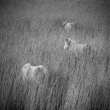 Eriskay ponies on Eriskay Island