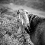 Wild Welsh pony on Carneddau