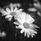 Black and white daisies