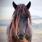 Scruffy...Fell pony