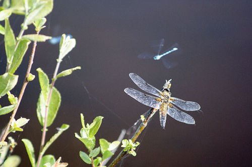 Four-spot chaser and damselflies