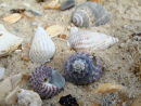 Top shells and netted dog whelks