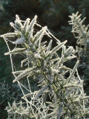 Frost on gorse