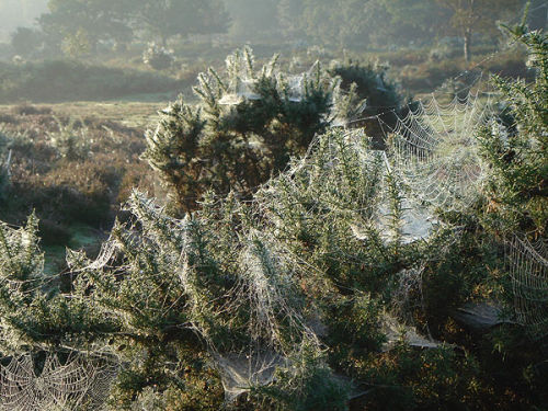 Webs on gorse