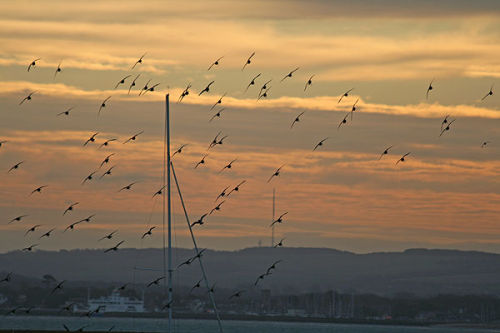 Black-tailed godwits at sunrise