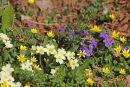 Primroses, violets and lesser celandine