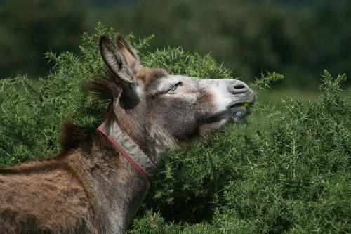Donkey eating gorse