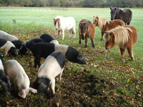 Pigs and Shetland ponies