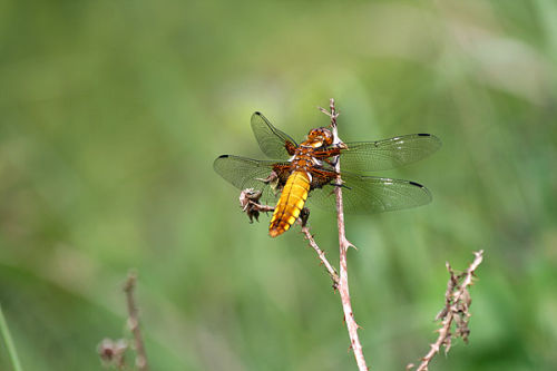 Broad-bodied chaser