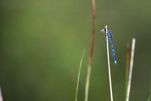 Southern blue damselfly