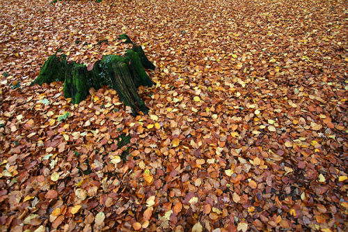 Tree stump and beech leaves