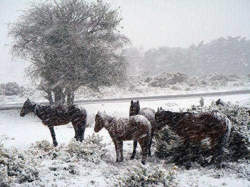 Ponies in a snowstorm