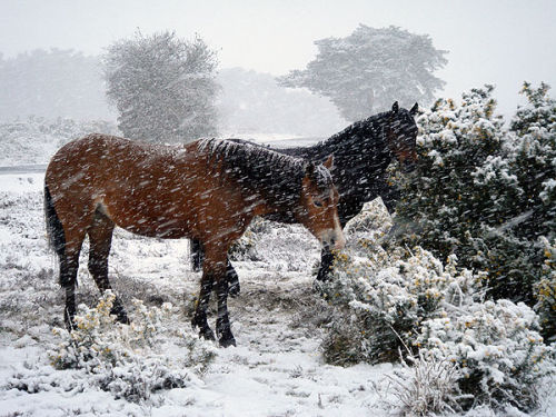 Ponies eating gorse in a snowstorm
