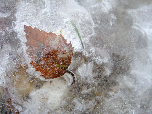 Silver birch leaf trapped under ice