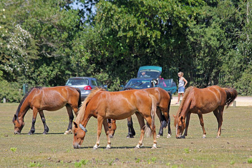Ponies and visitors
