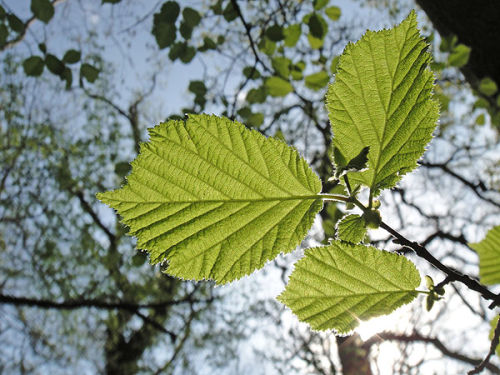 Beech leaves from below