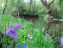 Common dog-violet on riverbank