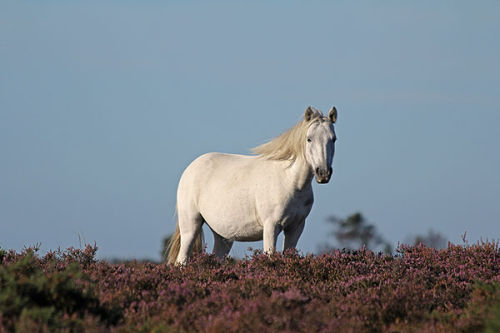 Pony in heather