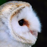 A Young Barn Owl mg 0134