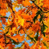Autumn Oak Leaves mg 014