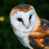 Barn Owl mg 0022