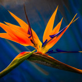 Bird of Paradise ~ The Flower mg 0031