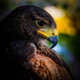 Harris Hawk mg 0136