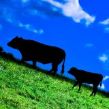 Cow and calf in shadow mg 149