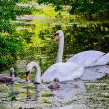 Cygnets and Swans mg 0033