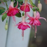 Dancing Fuchsias mg 016