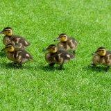 Ducklings ~ Step in time mg 163
