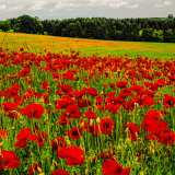 Field of Poppies ~  Ryedale mg 0003