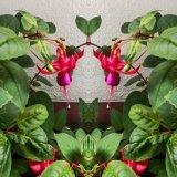 Fuchsias mg155