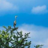 Great Blue Heron mg 018