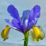 Iris ~ Goddess of the Rainbow mg 086