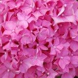 Luscious pink mg 024