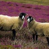 Moor Jocks ~ in heather mg 001