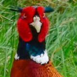Pheasant a face mg 151