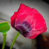 Poppy mg 0048